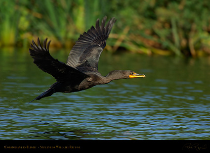 Cormorant_Flight_X5349