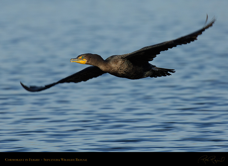 Cormorant_Flight_X5499