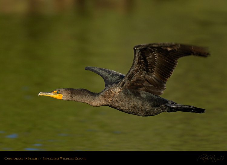 Cormorant_Flight_X5508