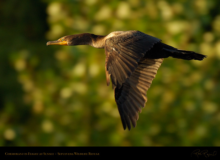 Cormorant_SunsetFlight_X5597