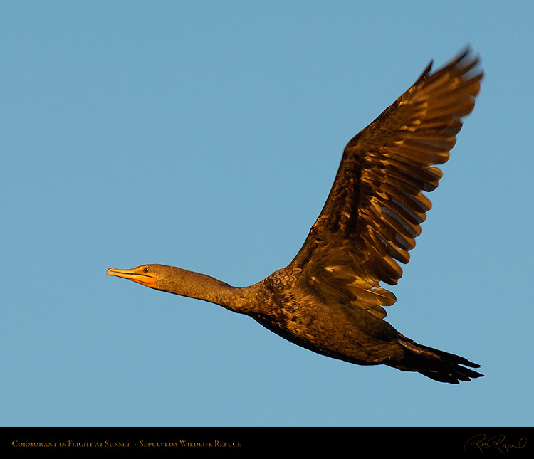 Cormorant_SunsetFlight_X7593M