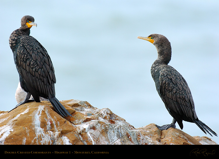 Cormorants_Highway1_3868