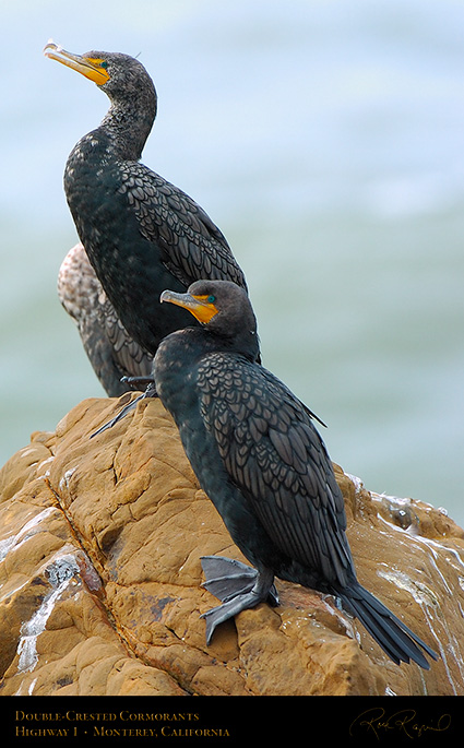 Cormorants_Highway1_3873