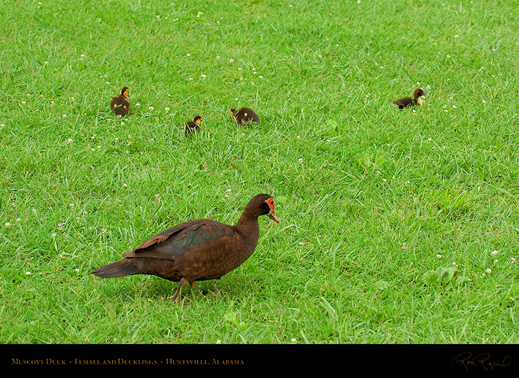 MuscovyDuck_andDucklings_6133