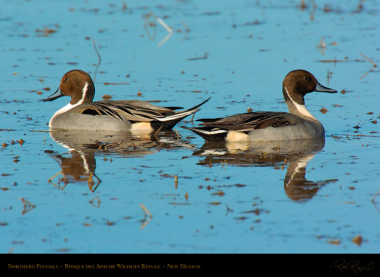 Pintails_2612