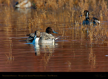 Pintails_2932