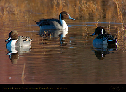 Pintails_2934