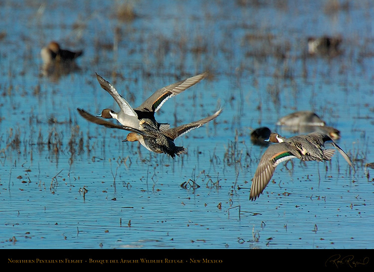 Pintails_inFlight_1891