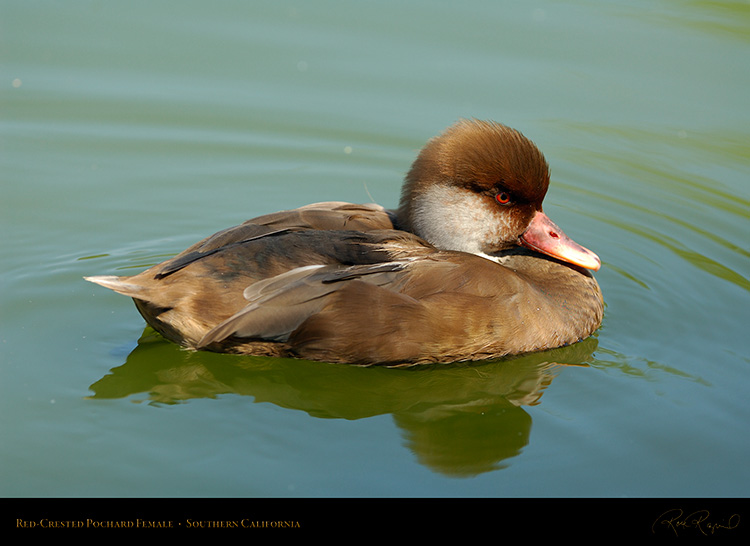 Red-Crested_Pochard_Female_X5767