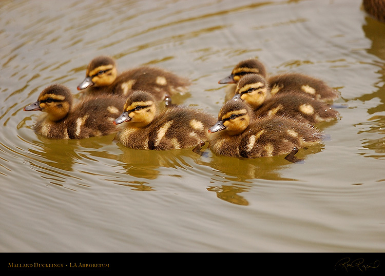 Mallard_Ducklings_1021