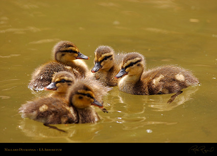 Mallard_Ducklings_1040