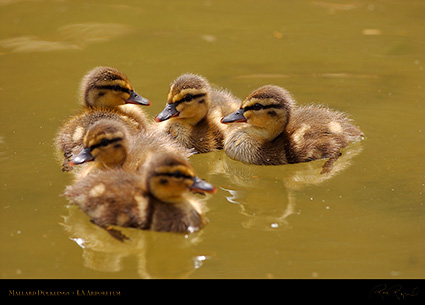 Mallard_Ducklings_1041