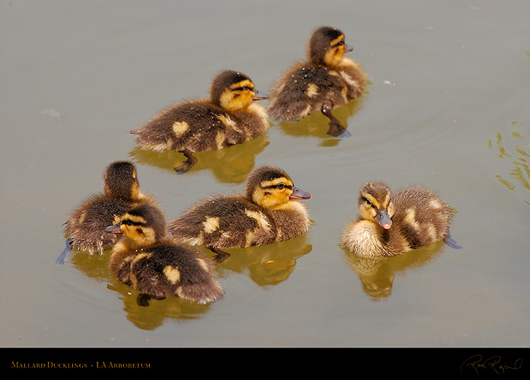 Mallard_Ducklings_1047