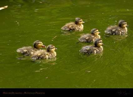 Mallard_Ducklings_7104