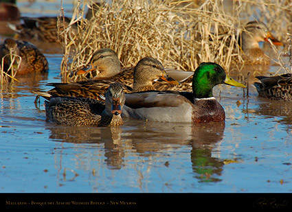 Mallards_Bosque_delApache_2574