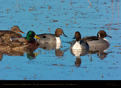 Pintails_andMallards_2622