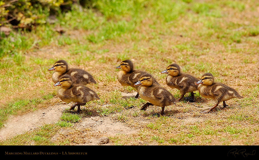 Marching_Mallard_Ducklings_1055_16x9