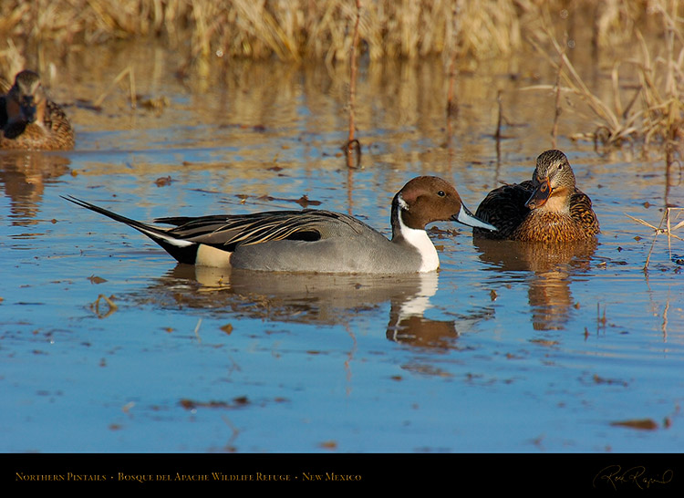 Pintails_2573