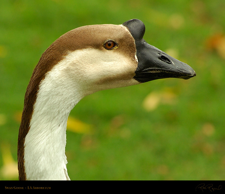 SwanGoose_Portrait_HS1316c_M