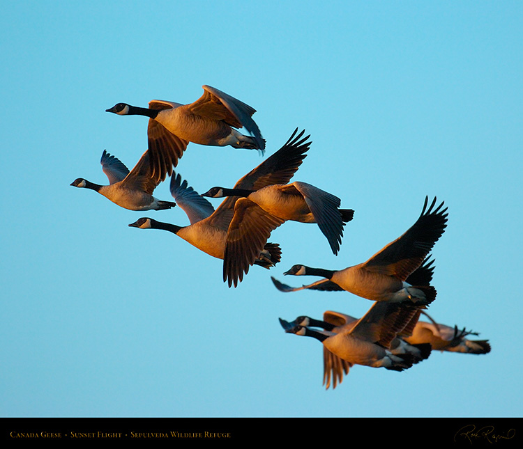 CanadaGeese_SunsetFlight_1132M