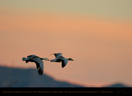 SnowGeese_BlueMorph_SunsetFlight_6076