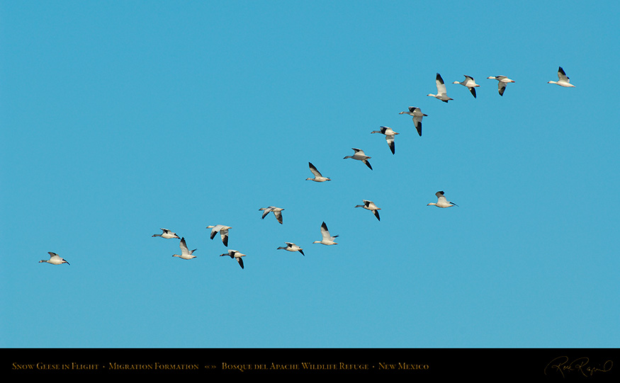 SnowGeese_FormationFlight_X9491_16x9
