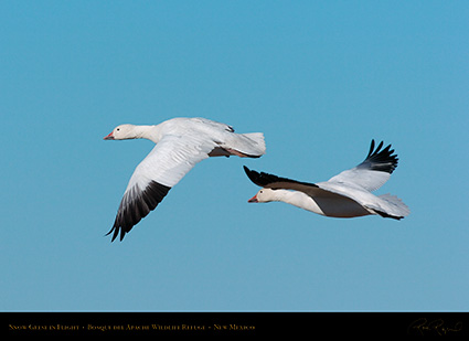 SnowGeese_inFlight_2242