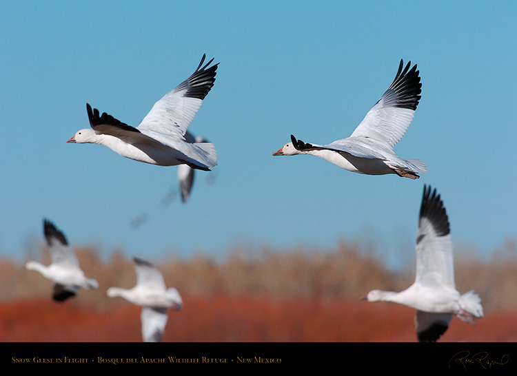 SnowGeese_inFlight_2245