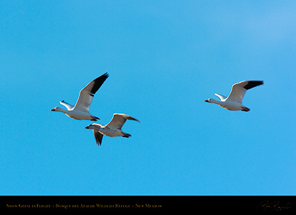 SnowGeese_inFlight_2964