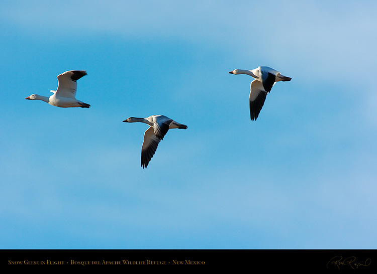 SnowGeese_inFlight_2967
