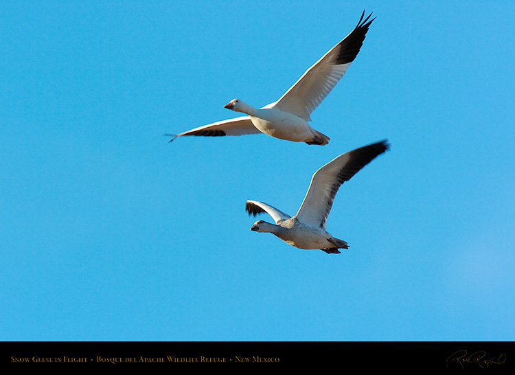 SnowGeese_inFlight_2980