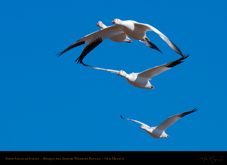 SnowGeese_inFlight_X3801