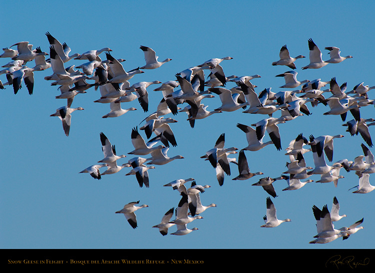 SnowGeese_inFlight_X9474