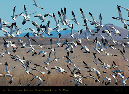 SnowGeese_inFlight_X9488