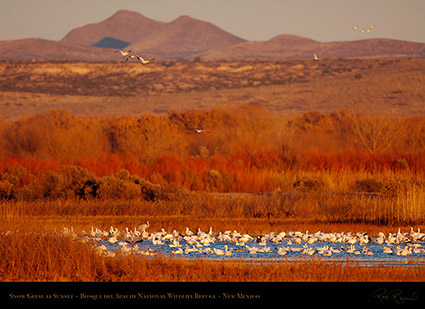 Bosque_Snow_Geese_at_Sunset_X3431