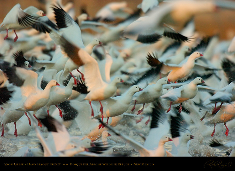 SnowGeese_Flyout_Frenzy_2316