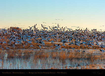 SnowGeese_MorningFlyout_2297