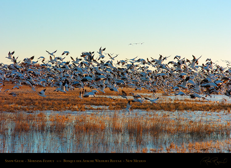 SnowGeese_MorningFlyout_2302