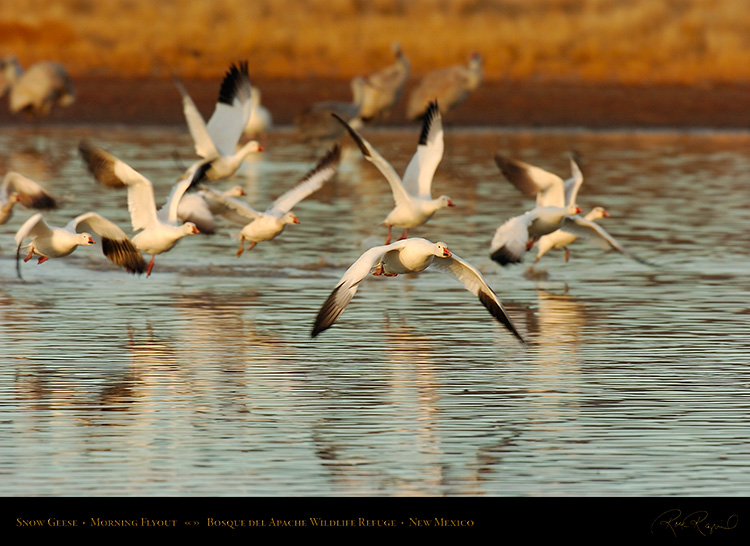 SnowGeese_MorningFlyout_6471