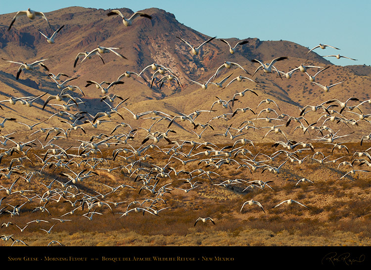 SnowGeese_MorningFlyout_X6410