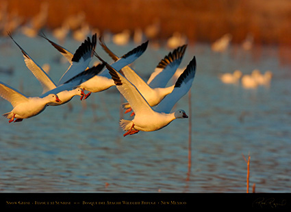 SnowGeese_SunriseFlight_4717