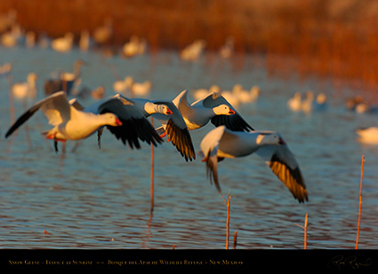 SnowGeese_SunriseFlight_4718