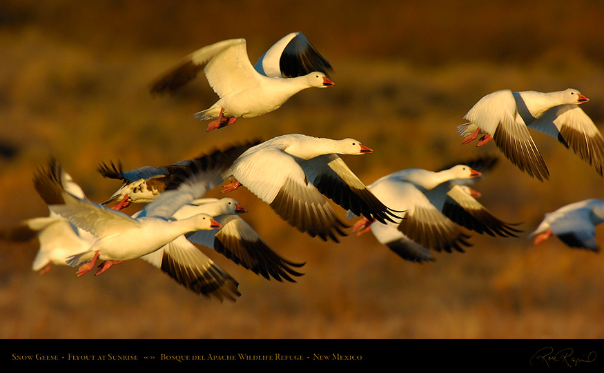 SnowGeese_SunriseFlyout_2358_16x9