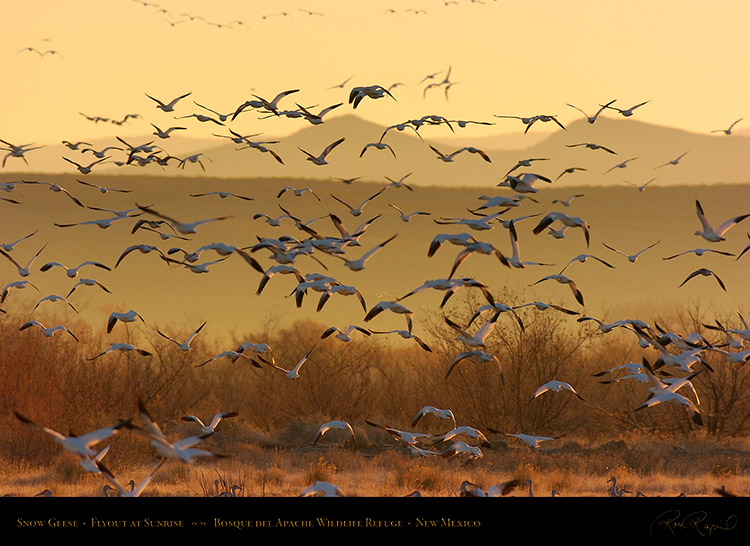 SnowGeese_SunriseFlyout_2764