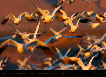 SnowGeese_SunriseFlyout_4030
