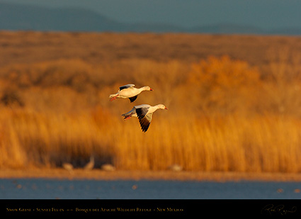 SnowGeese_SunsetFly-in_6909