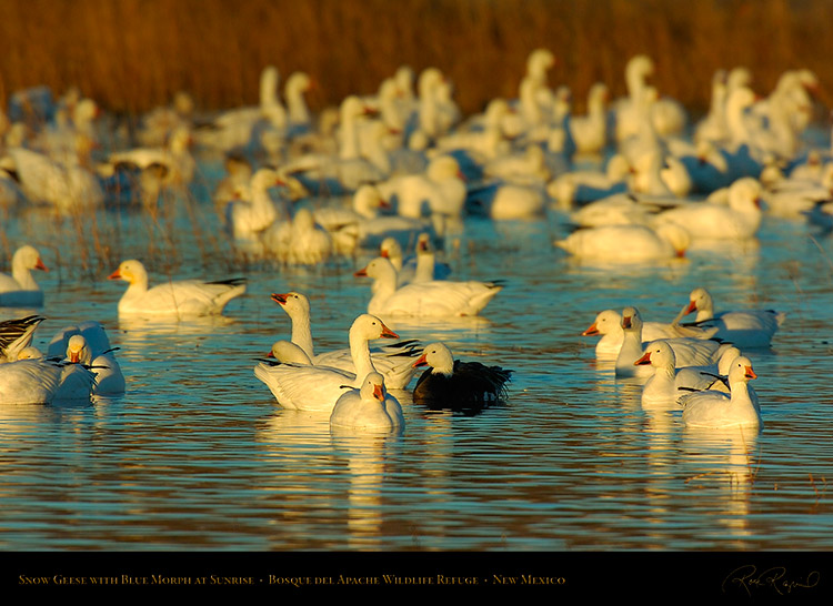 SnowGeese_withBlueMorph_atSunrise_2348