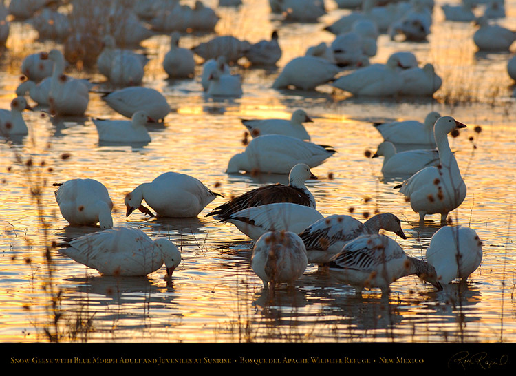 SnowGeese_withBlueMorphs_atSunrise_X8745