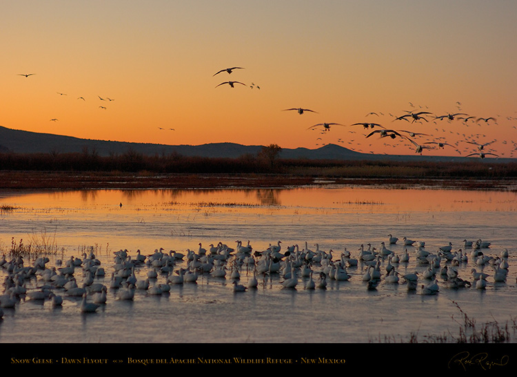 Bosque_SnowGeese_atDawn_5499