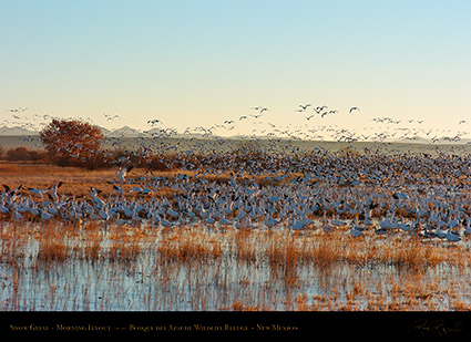 SnowGeese_MorningFlyout_2290
